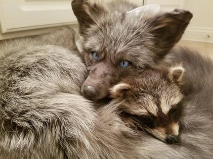 Pearl Fox & Baby Raccoon