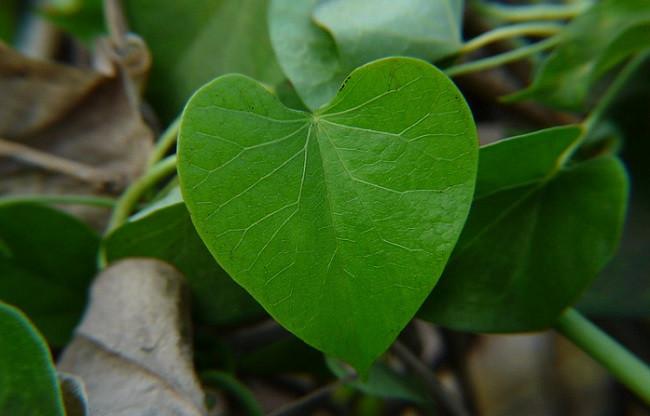 Giloy plant  (Guduchi)