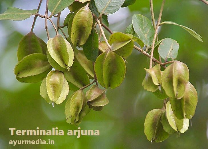 Terminaliya arjuna benefits in hindi