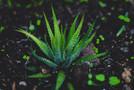 Aloe Vera Benefits in Hindi, एलोवेरा के फायदे और नुकसान