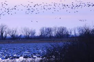 geese flying in