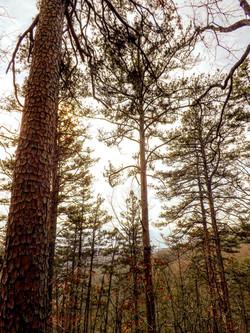 Shortleaf Pine 2 Cave Spring Trail