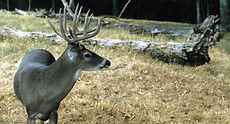 whitetail deer hunting Missouri