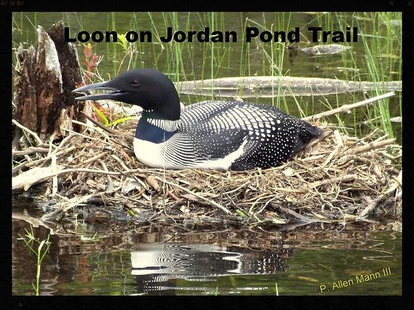Loon near Jordan Pond in Acadia National Park