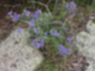 Wildflowers in Bell Mountain Wilderness