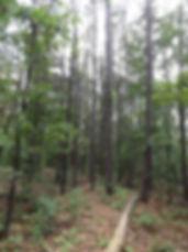 Piney Creek Wilderness - Short Leaf Pine Stand