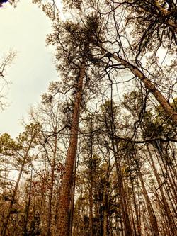 Shortleaf Pine 3 Cave Spring Trail