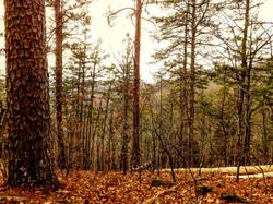 Shortleaf Pines 1 Cave Spring Trail