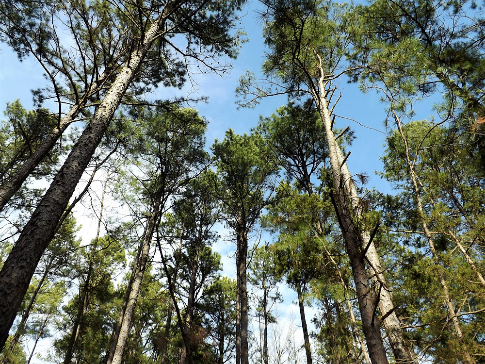 Shortleaf Pines Huzzah Conservation Area