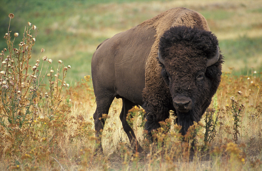 Read about bison hike at Prairie State Park