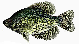 Crappie Fishing - Fly Rod