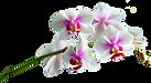 Orchidee-de-Annezin.png