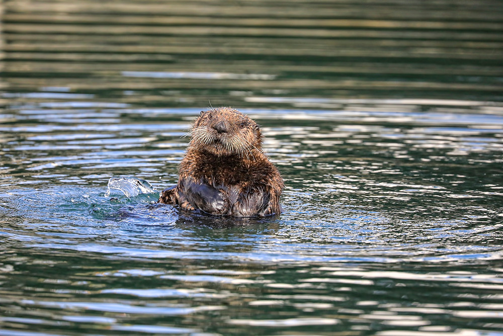 Oscar the wild sea otter cleans himself.