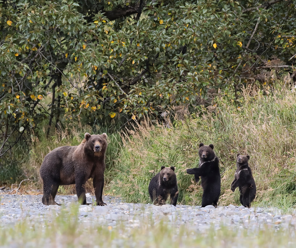 Mother bear with her three young cubs.  This group were seen from a great distance and she was relatively new to seeing humans and thus very wary.  Despite the distance between us, she was more than aware of our presence and within a minute, they were off and into the foliage.