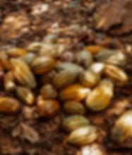 cabosses cacao Ouganda
