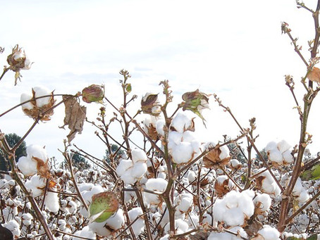 Is Cotton Rotten?