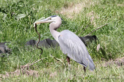 LR Blue heron with a snake