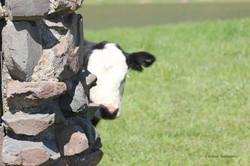 LR Shy calf