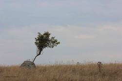 LR Tree in a rock