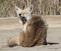 LR Itchy Coyote