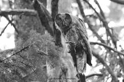 LR Owl
