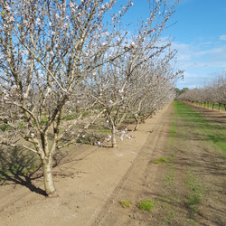 Almonds in Blossom VIRGINIA.jpg