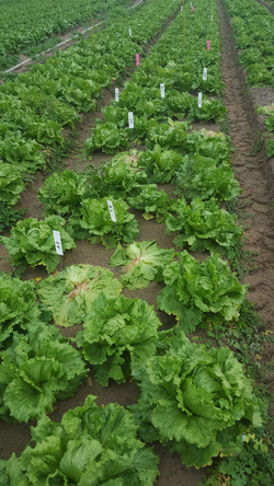 Lettuce disease trial