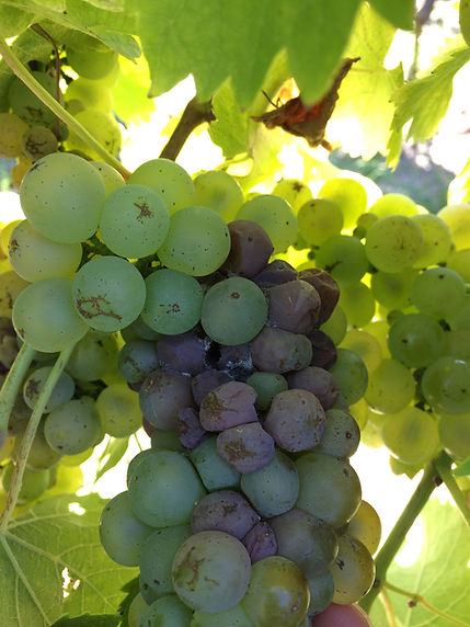 grape botrytis1.jpg