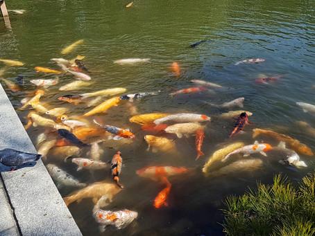 Los míticos peces KOI