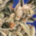 Kriptics_closeup_500x500.png