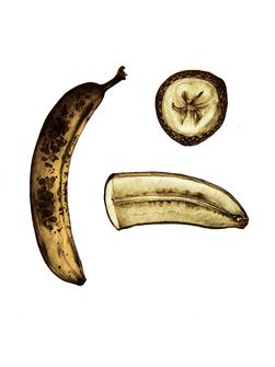 Botanical Banana Illustration