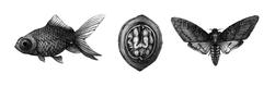 Fish, Walnut, Deathead Moth