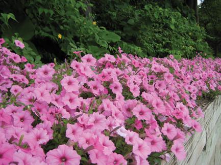 Vista Bubblegum Petunia
