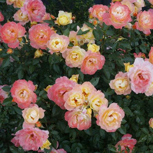 PW Italian Ice Rose