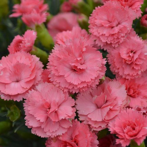 Classic Coral Dianthus
