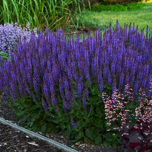 Salvia Violet Riot