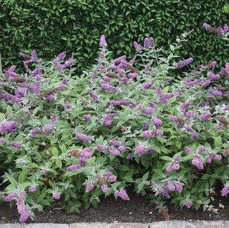 Buddleia Lo Behold Blue Chip