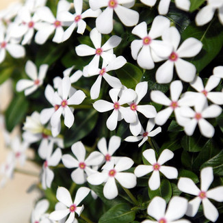 Soiree Kawaii White Peppermint