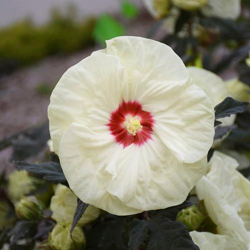 Hibiscus French Vanilla