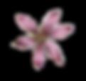 Rosa fiore illustrati