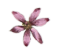 La flor rosada Illustrated