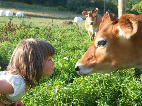 peaceful parenting and a cow in heat