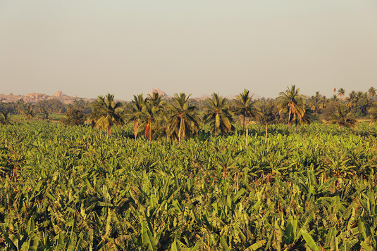 Palm trees field