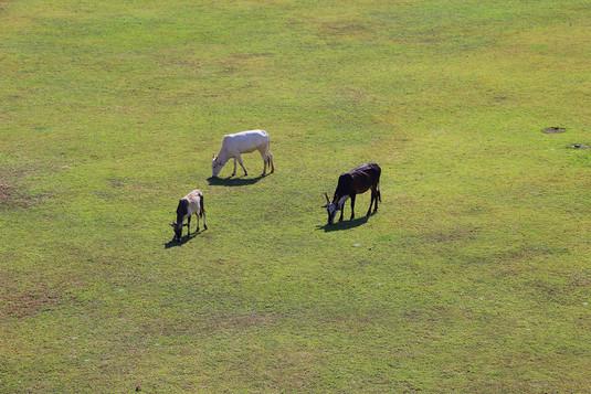 Cows India