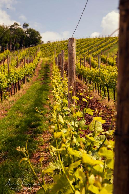 Vineyards Luxembourg city