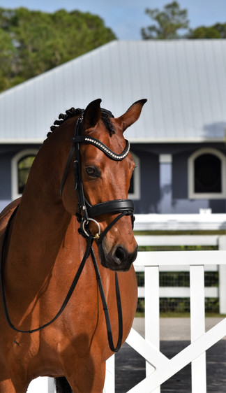 Ziggy posing for Dover Squared bridles