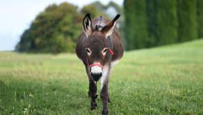 Domingo de Pasión: la sencillez del burro