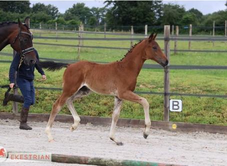 Fasino avec la lignée maternelle de Rubinstein I : foal en vente sur Ekestrian les 7/8 juillet