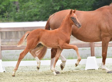 Vente des foals du Oldenbourg : un Top Price à 81.000€