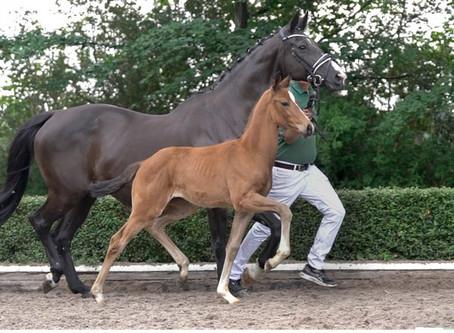 """Enchère privée de Rhenania Horses par Ekestrian les 28/29 juillet, """"The dame makes the difference !"""""""